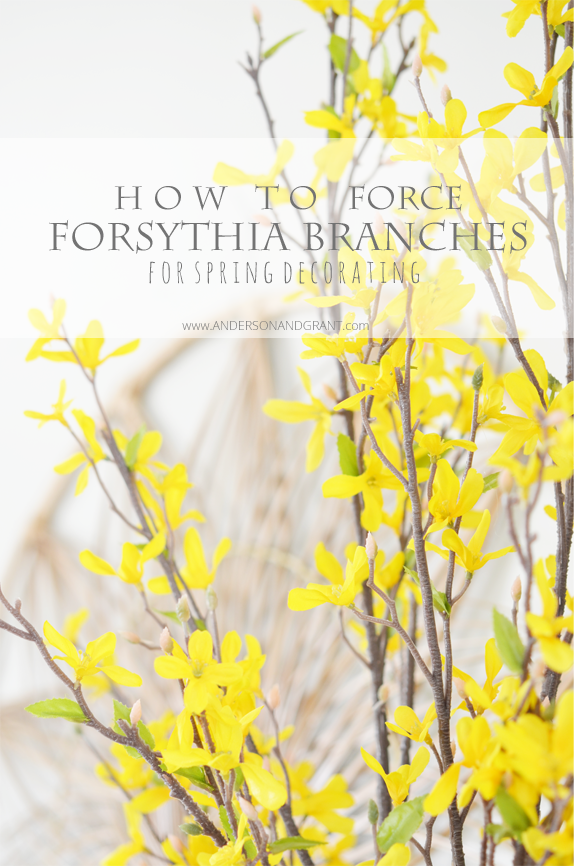 How To Force Forsythia Branche For Spring Decorating | Anderson and Grant